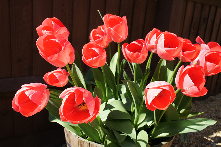coral-tulips