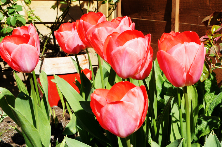 coral-tulips2